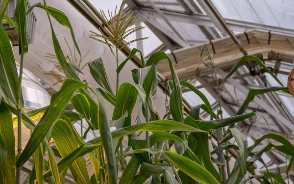 Corn being experimented on in greenhouse
